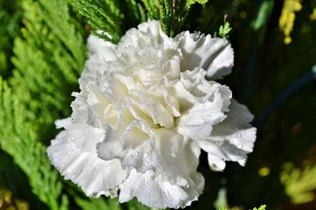 garofano bianco fedeltà