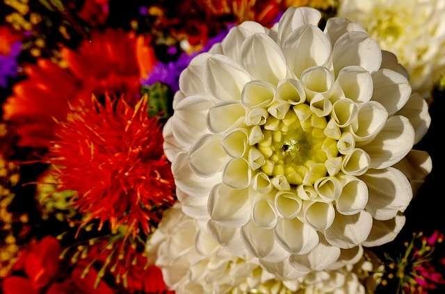 Linguaggio dei fiori dalia